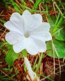 A white flower royalty free stock photo