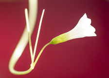 White flower on red background Stock Image