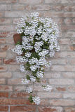 White Flower on Red Brick Wall, Venice Royalty Free Stock Photo