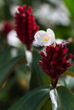 White flower on Red Ginger Flower Stock Image