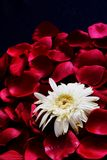 White Flower on Red petals. White Geranium Daisy on a bed of Rose petals Royalty Free Stock Images