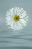 White Flower Reflected in Blue Rippled Water Stock Photography