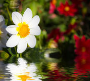 White flower reflected in water surface. Stock Photos