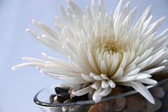 White flower on river rocks. White chrysanthemum flower on river rocks in glass dish Royalty Free Stock Photos