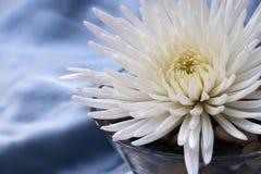 White flower on river rocks. White chrysanthemum flower on river rocks in glass dish Royalty Free Stock Images