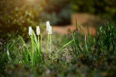 White flower in rock garden. Muscari album. Royalty Free Stock Image