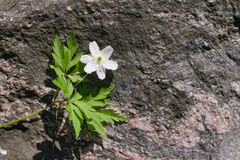 White flower on rock. Single white wood anemone flower on granite rock background Stock Photos