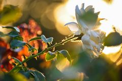 White rose beauty flower portrait at sunset stock photography