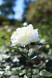 White flower rose in the garden. Flower rose in white color with. Shallow depth of field and selective focus. Best background for banners, posters and other Royalty Free Stock Image