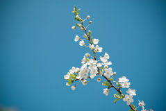 White flower on the sky. A tree white flower with the sky in background on slanic moldova valey Stock Image