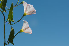 White flower on sky Royalty Free Stock Images
