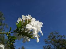 White, Flower, Sky, Flora Royalty Free Stock Image