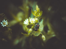 White flower and soldier beetle Stock Image