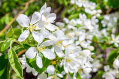 White flower in spring Royalty Free Stock Image