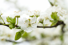 White flower in spring time Royalty Free Stock Photo