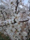 White flower. Springer White flower Stock Image