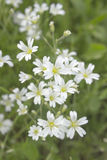 White flower Stellaria holostea on meadow Royalty Free Stock Photos