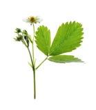 White flower of  strawberry Stock Image