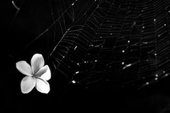 White flower stuck in spider net. A white magnolia was stuck in a spider\'s nest instead of bug. Wonder what spider will do now Royalty Free Stock Photography