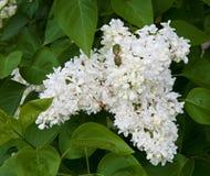 White flower Syringa. In the garden around Moscow Stock Images