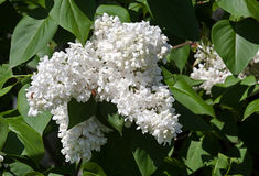 White flower Syringa. In the garden around Moscow Royalty Free Stock Photography