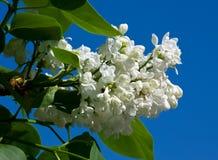 White flower Syringa. In the garden around Moscow Stock Photos