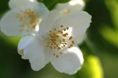 White flower. Syringa, white garden flower (Philadelphus coronarius Stock Photography