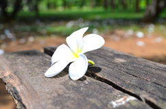 White flower on table. Plumeria is related to the Oleander, Nerium oleander, and both possess an irritant, rather similar to that of Euphorbia stock photo
