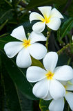 White flower in thailand, Lan thom flower Stock Photos