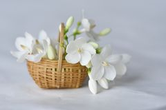 White flower in tiny bamboo basket. Wrightia religiosa flowers in a miniature bamboo basket stock photography