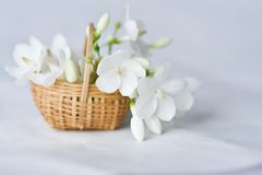White flower in tiny bamboo basket. Wrightia religiosa flowers in a miniature bamboo basket Royalty Free Stock Photos
