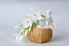White flower in tiny bamboo basket. Wrightia religiosa flowers in a miniature bamboo basket Stock Image