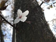 White flower. Flower on the tree Stock Images