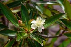 White flower on tree in Bako National Park Royalty Free Stock Photo