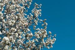 White flower tree on blue sky background Stock Images