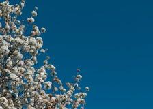 White flower tree on blue sky background Stock Photo