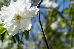 White flower on a tree. Fluffy white flower with a yellow median on a spring tree stock photo