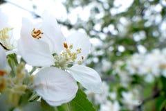 White flower of a tree macro shot. White flower of a tree macro royalty free stock photo