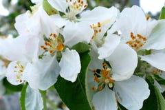 White flower of a tree macro shot. White flower of a tree macro royalty free stock photos