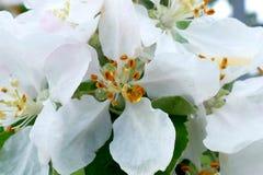 White flower of a tree macro shot. White flower of a tree macro stock image