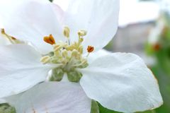 White flower of a tree macro shot. White flower of a tree macro stock photography