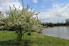 A white flower tree near a lake stock photography