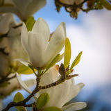 White flower on a tree. The photo shows the flowering tree - white flower Stock Images