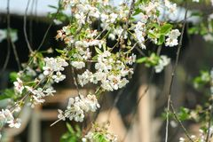 White flower on the tree. In spring royalty free stock photos