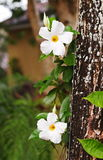 White flower. Tropical garden decorative green leaves plant with large bright white flower creeping on a big tree with brown bark outdoor in nature under natural stock photos