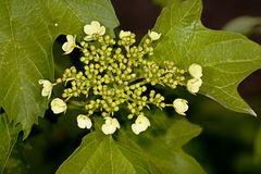 White flower Viburnum opulus. In the garden around Moscow Stock Photography