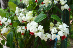 White flower vines Stock Photo