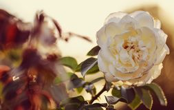 White flower vintage rose lighting sunset outdoors nature landscape background blossom macro closeup beauty bloom petals floral. White flower vintage rose light royalty free stock photos