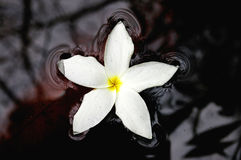 White flower in water. A white flower floating in a river stock photography