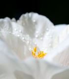 White flower with water droplets on the petals Stock Images